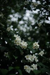 Philadelphus coronarius (Amselchen) Tags: plants bokeh blur dof depthoffield season sony zeiss carlzeiss sonnart1855 sonnar5518za fe55mmf18za sonyilce7rm2 sel55f18z
