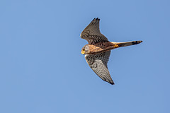 European Kestrel (Linda Martin Photography) Tags: dorset kestrel wildlife bournemouth nature bird northbourne europeankestrel riverstour stourvalley male uk falcotinnunculus naturethroughthelens coth coth5 alittlebeauty specanimal