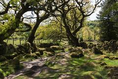 A rocky Dartmoor track - NK2_7531 (Jean Fry) Tags: dartmoor dartmoornationalpark devon englanduk joeyslane trees uk countrytracks nearburrator nearsheepstor rockytracks moss