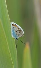 Argus bleu (claude dequidt) Tags: argusbleu papillon macroinsectes