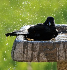 Angry Grackle. (Gillian Floyd Photography) Tags: angry bird black grackle bath