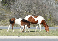 (EJMphoto) Tags: wild ponies assateague maryland mare foal baby