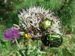 Green rose chafers on wild leek. (Vitaly Giragosov) Tags: crimea sevastopol russia greenrosechafer cetoniaaurata beetle insect leek allium бронзовка жук севастополь крым рф насекомые лук