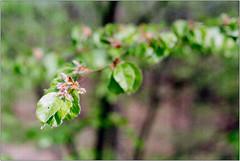 Frühlingserwachen III (Ulla M.) Tags: spring frühling grün green leaves blätter analogphotography analogue analog agfa agfafilm nikonfm selfdeveloped selbstentwickelt homedeveloped 35mm kleinbild reflectaproscan10t tetenalcolortec freihand umphotoart dof bokeh