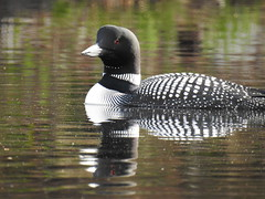 Common Loon On Wilson Pond, North Monmouth 9 (RonG58) Tags: commonloon loon wilsonpond northmonmouth greatnortherndiver gaviaimmer waterbirds bird birds loiseau elpájaro tori dervogel birding birdwalk fauna flora habitat migration natureexploration wildlife breedingplumage maine rong58 new usa images spring pictures photooftheday day image color photography photo photos us light trip nikon picture digitalcamera picoftheday photograph live geotagged nature naturephotography travel exploration