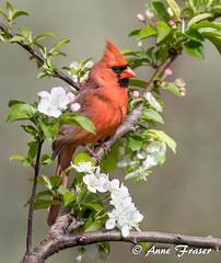 Northern Cardinal (Anne Marie Fraser) Tags: pretty tree flowers bird cardinal northerncardinal nature wildlife spring springtime