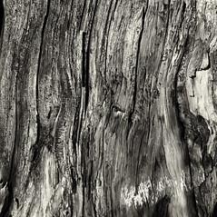 41. (ionatura) Tags: larix decidua tree stock stump red filter hasselblad 500c delta 100 d76 ilford wood old rotten