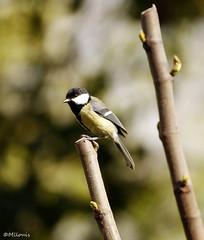 Mésange Charbonnière. (Milucide) Tags: oiseau mésange charbonnière canon