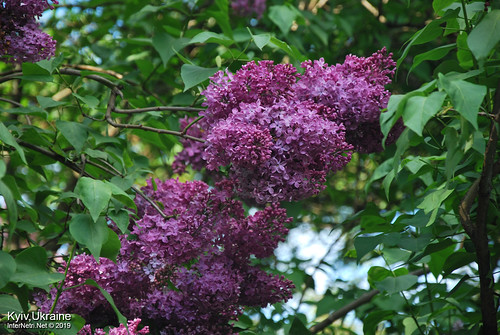 Київ, Ботанічний сад імені Гришка  Цвіте бузок InterNetri Ukraine 67