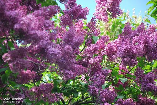 Київ, Ботанічний сад імені Гришка  Цвіте бузок InterNetri Ukraine 65