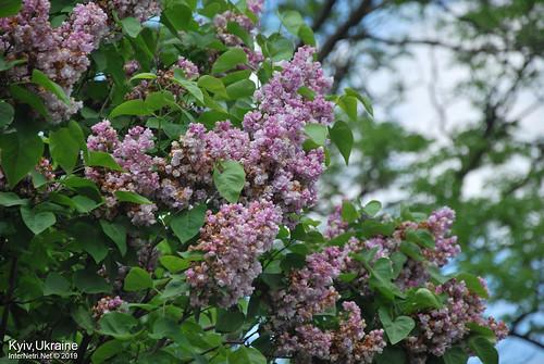 Київ, Ботанічний сад імені Гришка  Цвіте бузок InterNetri Ukraine 34