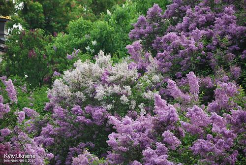 Київ, Ботанічний сад імені Гришка  Цвіте бузок InterNetri Ukraine 30