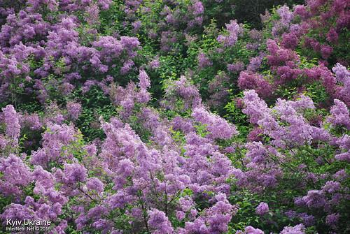 Київ, Ботанічний сад імені Гришка  Цвіте бузок InterNetri Ukraine 28