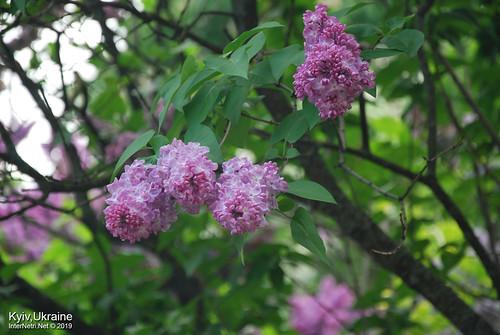 Київ, Ботанічний сад імені Гришка  Цвіте бузок InterNetri Ukraine 26