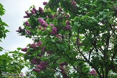 Київ, Ботанічний сад імені Гришка  Цвіте бузок InterNetri Ukraine 24