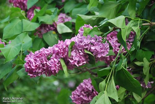 Київ, Ботанічний сад імені Гришка  Цвіте бузок InterNetri Ukraine 22