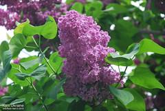 Київ, Ботанічний сад імені Гришка  Цвіте бузок InterNetri Ukraine 20