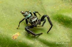 Fighting Spider (F.Hendre) Tags: spider jumpingspider fightingspider macro arachnid thianiabhamoensis