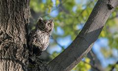Petit duc maculé/Eastern Screech Owl/-_PM24559 (michel paquin2011) Tags: rouge petit duc maculé parc angrignon rapace nocturne montréal