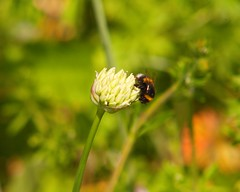 Nature & Wildlife (Adam Swaine) Tags: bumblebee bees flora flowers insects nature naturelovers macro gardens england english britain british animals wildlife beautiful canon uk peckhamryepark spring londonparks naturesfinest 2019