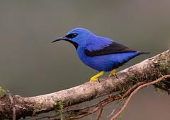 Shining HoneyCreeper (ToriAndrewsPhotography) Tags: shininghoneycreeper bright blue yellow bird laguna del lagarto costa rica tori andrews photography