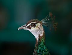 PIERCING (Michael Leshets) Tags: bird wildlife animal green africa peacock feathers eye looking bokeh