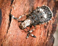 Platystomos albinus (f) (mickmassie) Tags: hanworth littlepark