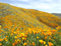 Calif. Poppies - walker canyon (h willome) Tags: 2019 california lakeelsinore walkercanyon wildflowers superbloom