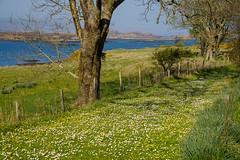 Wildflower Path (San Francisco Gal) Tags: wildflower path fence lochdunvegan grass tree water skye scotland highlands island sea sealoch