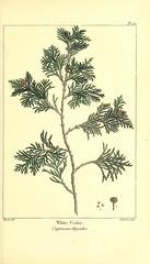 Anglų lietuvių žodynas. Žodis chamaecyparis thyoides reiškia <li>chamaecyparis thyoides</li> lietuviškai.