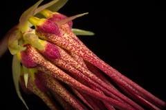 [Sabah Borneo, Malaysia] Bulbophyllum habrotinum J.J.Verm. & A.L.Lamb, Blumea 38: 335 (1994)