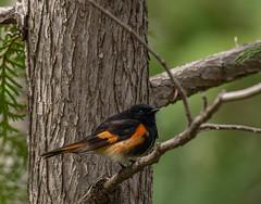 DSC_0065 (doug.metcalfe1) Tags: 2019 americanredstart dougmetcalfe hollandmarshprovincialwildlifemanagementareasiderd20 nature ontario outdoor spring westgwillimbury bird