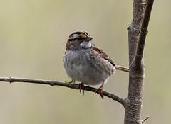 DSC_0050 (doug.metcalfe1) Tags: 2019 dougmetcalfe hollandmarshprovincialwildlifemanagementareasiderd20 nature ontario outdoor spring westgwillimbury whitethroatedsparrow bird sparrow