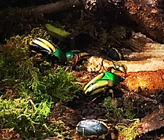 Beetles... very colorful but creepy (ladyoutnumbered) Tags: 14beetles 119picturesin2019