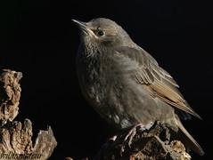 Starling (juvenile) (wildamateur) Tags: starling sturnusvulgaris gardenbirds suffolk canon7dmkii canonef100400lismkii canonef14xii