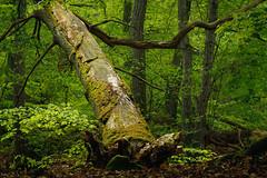 Maigrün mit Totholz (Petra Runge) Tags: baum holz wald darss grün mai woodland forest green tree totholz deadwood