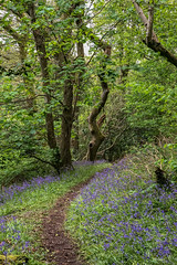 20190501 0136 Bluebell Wood Llanerchaeron near Aberaeron Ceredigion SA48 8DG Mid Wales (rodtuk) Tags: cameramodel canon5div flipublic flickr flower misc nt nature phototype plant rodt roderict roderickt tree wip iphone8