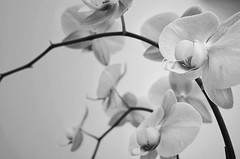 #orchids #blackandwhite #minimalism #monochrome #bnw_captures #floral #bnwphotography #olympusinspired #keepitsimple #nature #fineart #lines #curves #art #bnw_photography #olympuspenf #mzuiko17mmf18 (Sivyaleah (Elora)) Tags: orchid black white still life flower floral bnw minimalism minimal fine olympus penf pen f zuiko 17mm f18