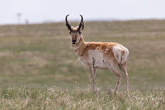 May 16, 2019 - A handsome but scraggly Pronghorn in northern Colorado. (Tony's Takes)