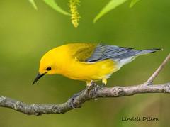 Prothonotary Warbler (Lindell Dillon) Tags: prothonotarywarbler neotropical birds birding nature oklahoma wildoklahoma