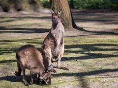 im Tierpark Berlin (Georg Brutalis) Tags: berlin friedrichsfelde kän känguru tierpark zoo deutschland