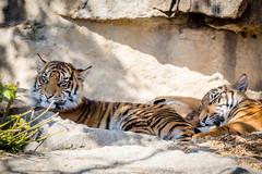 Tigernachwuchs im Tierpark Berlin (Georg Brutalis) Tags: berlin friedrichsfelde tierpark tiger tigerjunges zoo deutschland