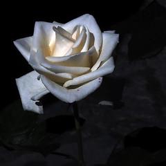 Llum de rosa blanca (queropere) Tags: rosa blanca irradia llum puresa harmonia veïnatge salt queropere