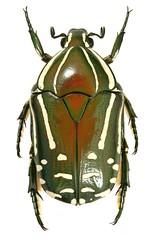 Rhabdotis semipunctata (dries.marais) Tags: coleoptera scarabaeidae cetoniinae cetoniini rhabdotis semipunctata fruitchafer