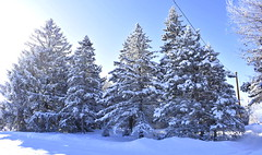 After a Huge Snowfall (Pictures by Ann) Tags: hugesnowfall snow deepsnow overwhelming toomuchsnow pretty bluesky purewhite winterwonderland pinetrees frontyard
