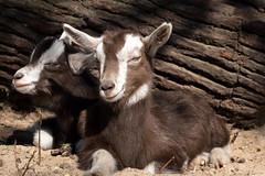 im Streichelzoo, Tierpark Berlin (Georg Brutalis) Tags: berlin friedrichsfelde streichelzoo tierpark ziege zoo deutschland