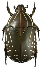 Rhabdotis sobrina (dries.marais) Tags: coleoptera scarabaeidae cetoniinae cetoniini rhabdotis sobrina fruitchafer