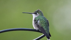 Ruby-throated Hummingbird (blazer8696) Tags: img6667 brookfield connecticut unitedstates 2019 apodiformes arccol archilochus archilochuscolubris bird colubris ct ecw hummingbird obtusehill rthu ruby rubythroated rubythroatedhummingbird t2019 tabledeck throated trochilidae usa