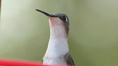 Ruby-throated Hummingbird (blazer8696) Tags: img6640 brookfield connecticut unitedstates 2019 apodiformes arccol archilochus archilochuscolubris bird colubris ct ecw hummingbird obtusehill rthu ruby rubythroated rubythroatedhummingbird t2019 tabledeck throated trochilidae usa