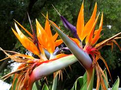 Faded Glory (Vicki LW) Tags: flower birdofparadise odc ourdailychallenge faded